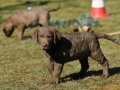 Sea'nLand Chesapeake Bay Retriever©LS