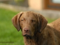 Sea'nLand Chesapeake Bay Retriever ©claudia breitgoff