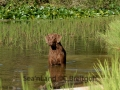 Sea'nLand Chesapeake Bay Retriever©C.Breitgoff
