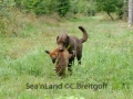 Fuchsapport-Sea'nLand Chesapeake Bay Retriever©C.Breitgoff