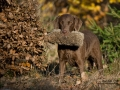 Chili - Sea'nLand Chesapeake Bay Retriever©C.Breitgoff