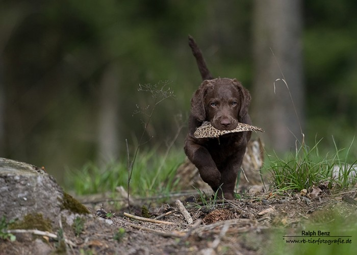 Sea'nLand Chesapeake Bay Retriever  Welpe