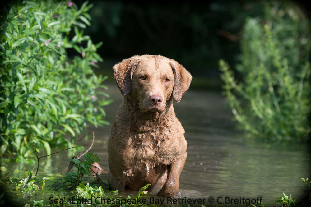 Sea'nLand Chesapeake Bay Retriever  Cherokee