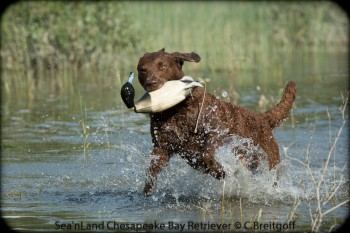 Sea'nLand Chespaeake Bay Retriever - Tala