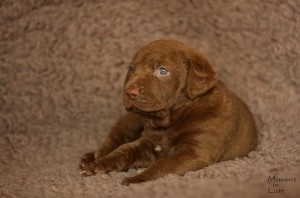 Sea'nLand Chesapeake Bay Retriever©Isabell Marowsky