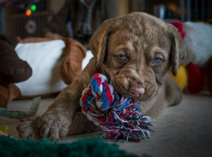 Chesapeake Bay Retriever Welpen©PeterWeissböck