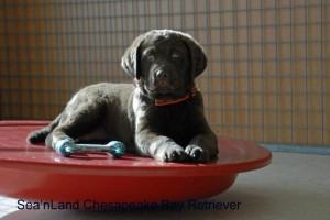 Chesapeake Bay Retriever  Sea'nLand