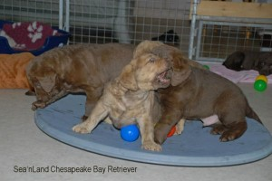 Chesapeake Bay Retriever - Sea'nLand