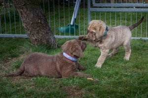 Chesapeake Bay Retriever Welpen - Sea'nLand