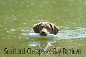 Sea'nLand Chespaeake Bay Retriever - Cherokee