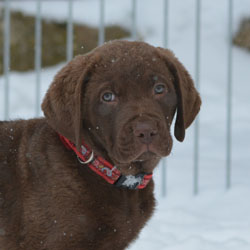 sSea'nLand Chesapeake Bay Retriever