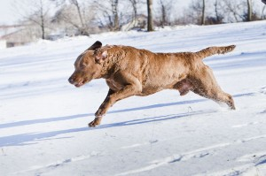 Sea'nLand - Ches-Shores Chesapeake Bay Retriever