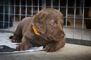 Sea'nLand Chesapeake Bay Retriever©PW