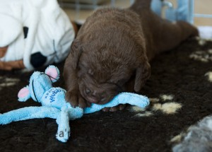 Sea'nLand Chesapeake Bay Retriever E-Wurf