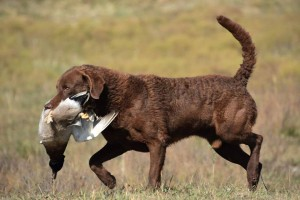 Lzy Mtn Piper's 3-D Brown Bear ©D.C.